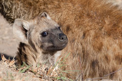 Baby hyena Royalty Free Stock Photos