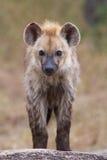Baby hyena Stock Image