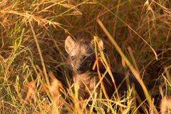 Baby Hyenas, Masai Mara. Baby spotted hyenas just come out from their hole, Masai Mara royalty free stock image