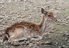Baby ibex. Baby wild goat lying on the field stock photo