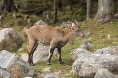 Baby ibex in a fall forest Stock Image