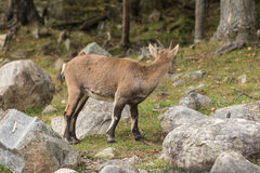 Baby ibex in a fall forest Royalty Free Stock Photos