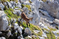 Baby ibex jumping in the mountains. Of Julian alps, Slovenia Royalty Free Stock Photography