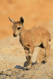 Baby Ibex with Little Horns Royalty Free Stock Image