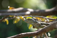 Baby Iguana Stock Photos