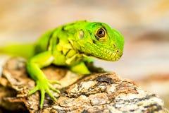 Baby Iguana Close Up Stock Photography