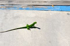 Baby iguana on deck Royalty Free Stock Images