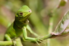 Baby Iguana looking Royalty Free Stock Images