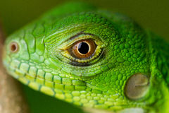 Baby Iguana Macro. Extreme closeup of a young common green iguana. Taken in the US Virgin Islands Stock Photography