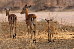 Baby Impala Stock Photography
