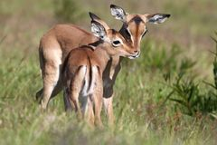 Baby Impala Antelope Kiss Stock Photo