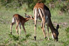 Baby Impala Antelope and Mother Royalty Free Stock Photo