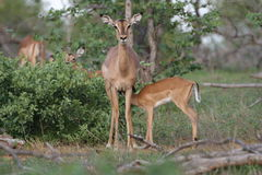 Baby Impala feeding. A Baby impala feeding on its mother. The picture was taken in the Kruger National Park stock image
