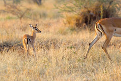 Baby impala following the mother Royalty Free Stock Photo