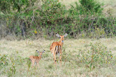 Baby impala with his mother Royalty Free Stock Photos