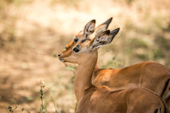 Baby Impala in the Kruger. Stock Photography