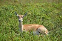 Baby impala Royalty Free Stock Images