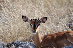 A baby impala lies down on the savannah, looking at the camera royalty free stock photo