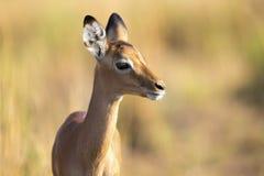 Baby impala looking alert to avoid predators Royalty Free Stock Photography