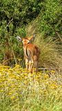 Baby Impala looking back in Africa Royalty Free Stock Photography