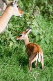 Baby impala with mother Royalty Free Stock Photo