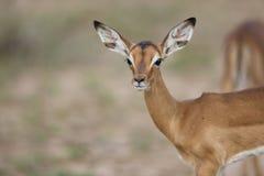 Baby Impala portrait Royalty Free Stock Images