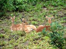 Baby Impala Resting royalty free stock photography