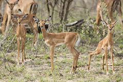 Baby Impala in South Africa Royalty Free Stock Photo