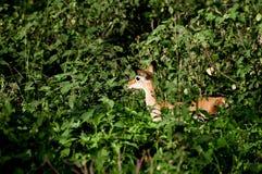 Baby-Impala unter grünen Büschen Stockfotografie