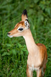 Baby Impala Royalty Free Stock Images