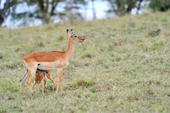 Baby impala Royalty Free Stock Photos