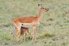 Baby impala Stock Photo