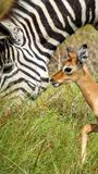 Baby Impala with Zebra in Africa Royalty Free Stock Photography