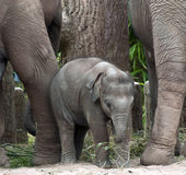 Baby Indian Elephant Royalty Free Stock Images
