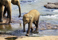 Baby Indian elephant Stock Photos