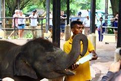 Baby Indian elephant fed milk Stock Photography