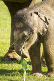 Baby indian elephant Stock Images