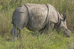 Baby Indian Rhino in the Grassland Stock Photos