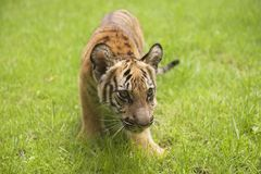 Baby Indochinese tiger plays on the grass. Royalty Free Stock Image