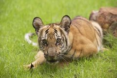 Baby Indochinese tiger plays on the grass. Stock Photos