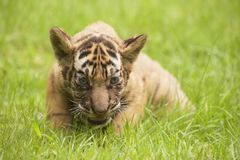 Baby Indochinese tiger plays on the grass. Stock Photography