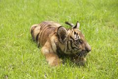Baby Indochinese tiger plays on the grass. Royalty Free Stock Images