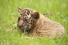 Baby Indochinese tiger plays on the grass. Royalty Free Stock Photos