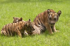 Baby Indochinese tigers play on the grass. The Indochinese tiger (Panthera tigris corbetti) is a tiger subspecies found in the Indochina region of Southeastern royalty free stock photos