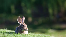 Baby Jack Rabbit Stock Photo