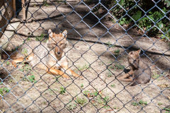 Baby Jackal and his Mother. Young Jackal and his mother in a zoo royalty free stock photo