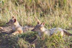Baby Jackals profile. Two baby jackals on alert in Kenya's Masai mara reserve. Morning sun backlit Royalty Free Stock Photos