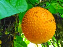 Baby jackfruit, Cochinchin gourd, Spiny bitter gourd, Sweet gourd. Royalty Free Stock Photography