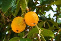 Baby jackfruit hanging on bunch. Stock Images