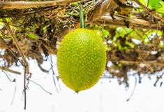 Baby Jackfruit Spiny Bitter Gourd,Sweet Gourd,Cochinchin Gourd,G Royalty Free Stock Photos